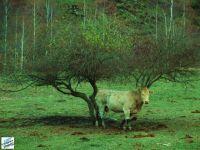 La vaca sola