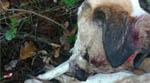 gos mort d'una perdigonada