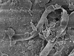 El vi vist amb microscopi