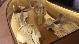 Visita al Museu del Mar Esquelets de mamífers marins de la Col·lecció Brunet.