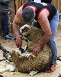 El 2013, en 115 fotografies Esquilant ovelles a la Festa de la Llana (19 de maig). Foto: Arnau Urgell