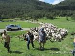 El 2013, en 115 fotografies Arribada del ramat transhumant al pla d'Anyella (15 de juny). Foto: Antoni Llagostera