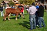 El 2013, en 115 fotografies Llanars acull el Concurs Comarcal del Cavall Pirinenc (26 d'octubre). Foto: Marc Cargol