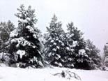 Paisatge i meteorologia de gener al Ripollès Bosc del Pinetar de Planoles (19 de gener). Foto: Jordi Campos