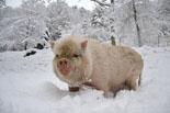 Nevada del 4 de març al Ripollès Un porc vietnamita del Santuari Gaia d'Ogassa. Foto: Santuari Gaia