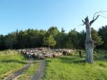 Pas de les ovelles pel camí ramader del Lluçanès: Alpens-pla d'Anyella
