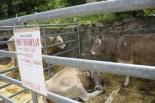 Fira de Sant Isidre: Concurs Morfològic de Vaca Bruna