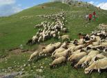 El 2012 al Ripollès, en 125 imatges Les ovelles arriben al pla d'Anyella tot seguint el recuperat camí ramader. Foto: Antoni Llagostera