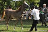 El 2012 al Ripollès, en 125 imatges Arabequus a Sant Joan. Foto: Marc Cargol
