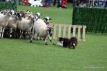 El 2012 al Ripollès, en 125 imatges 50è Concurs d'Habilitat amb Gossos d'Atura a Ribes de Freser. Foto: Josep Maria Costa