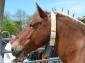 Fira de Sant Isidre de Sant joan de les Abadesses (II) Cavall catalanopirinenc