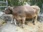 Fira de Sant Isidre de Sant joan de les Abadesses (II) Vaca bruna