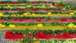 Catifes de flors per corpus a Moià 2013