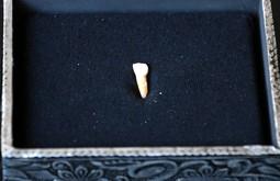 Restes homínides a la Cova de les Teixoneres de Moià, 2016 Primer pla de la dent de llet d'un nen de neandertal de fa 50.000 anys que s'ha trobat a la Cova de les Teixoneres de Moià