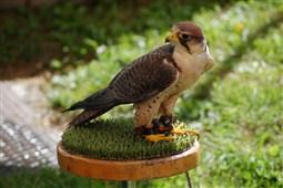 Exhibició d'aus rapinyaires a la Fira del Bolet de Vilada