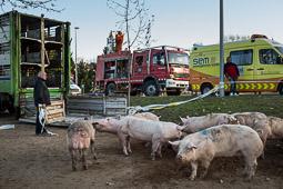 Un camió de porcs bolca a la rotonda d'entrada a Calldetenes