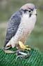 Mercat Medieval de Vic 2008: exposició de falconeria