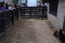 Festa de la Primavera 2015 a la masia de Can Deu de Sabadell Visitants contemplant les gallines.