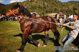 El resum del 2014 al Ripollès, en imatges Concurs Comarcal de Cavall Pirinenc a Llanars. Foto: Marcel Urgell