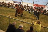 II Concurs Nacional del Cavall Pirinenc Català (tarda)