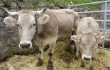 L'any 2010 en 100 imatges Vaques brunes de la Fira de Sant Isidre de Sant Joan. Foto: Arnau Urgell
