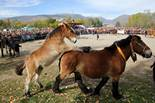 Concurs Tradicional de Cavalls de Puigcerdà