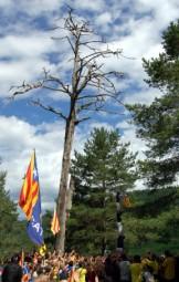 Pi de les Tres Branques 2014 Els Castellers de Berga fan un pilar al costat del Pi