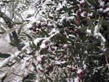 Temporal de fred i neu a Catalunya 14.12.2009 13.18 - La nevada ha agafat de ple la collita de les olives arbequines. Foto: Xavier Lozano/ACN
