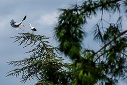 Centenars de cigonyes fan parada a Manlleu