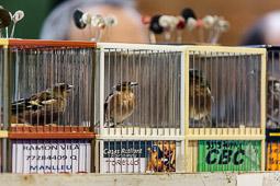 Festa dels ocells de Sant Pere de Torelló