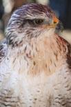 Mercat Medieval de Vic 2013: aus rapinyaires
