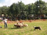 Festa major de Seva 2010: ovellada